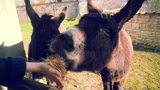 size_4_feeding-the-donkeys-at-le-clos-de-la-garenne-17700-puyravault-bed-and-breakfast-in-charente-maritime